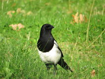 Magpie in long grass royalty free stock images