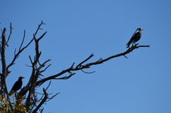 Magpie on look-out Stock Image