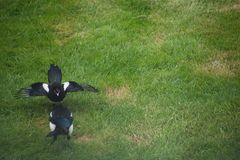 Magpie looking for food on a lawn with its hungry juvenile stock image