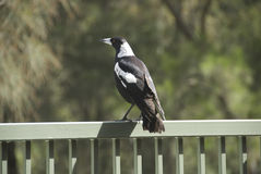 Magpie looks out. Into the distance Royalty Free Stock Images