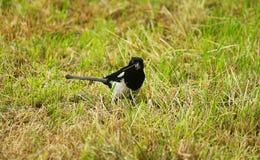 Magpie in the meadow. A magpie in the meadow Stock Photo