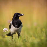Magpie Stock Photography