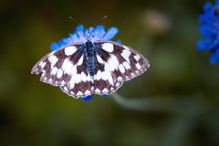 Magpie Moth Perched on Blue Flower in Tilt Shift Lens Royalty Free Stock Photos