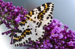 A magpie moth on purple flower Royalty Free Stock Photography
