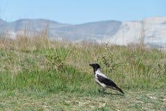 magpie near mountane stock photography