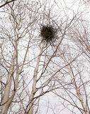 A magpie nest in the spring forest. A magpie nest built on a birch tree in the spring forest Royalty Free Stock Images
