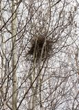 A magpie nest in the spring forest. A magpie nest built on a birch tree in the spring forest Stock Image