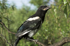 Magpie nestling Royalty Free Stock Image