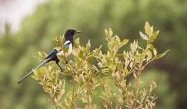 Magpie on oak Royalty Free Stock Images