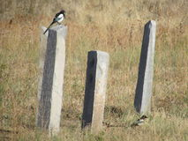 Magpie on Obelisk. Two magpies and ancient graveyard in Kyrgyzstan Royalty Free Stock Images