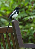Magpie on Park Bench stock photo