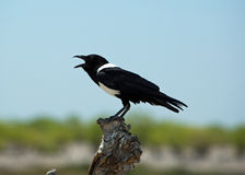 A magpie perched on a dead tree chirping Royalty Free Stock Photos