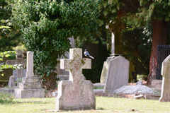 Magpie perched on gravestone cross. In cemetery Royalty Free Stock Images