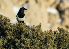 Magpie Perched on a Juniper Royalty Free Stock Photography