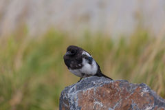 Magpie Perched on Rock Royalty Free Stock Photo