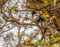 Magpie perched on a tree branch Royalty Free Stock Photo