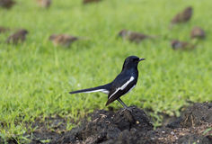 Magpie. Perched on a wooden board, against green grass Royalty Free Stock Photography