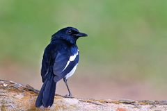 Magpie Perching On A Branch Royalty Free Stock Photography