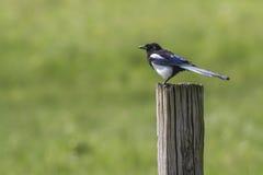 Magpie (pica do Pica) Imagem de Stock Royalty Free