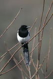 Magpie, Pica pica Stock Photography