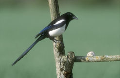 Magpie, Pica pica Stock Photo