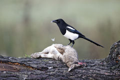 Magpie, Pica pica Royalty Free Stock Photography