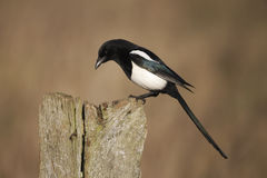 Magpie, Pica pica Stock Photos