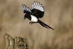 Magpie, Pica pica Royalty Free Stock Photo