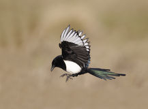 Magpie, Pica pica Stock Images