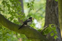 Magpie (Pica pica). Spotted outdoors in Santry, Dublin Royalty Free Stock Image