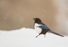 Magpie under the snow Royalty Free Stock Photos