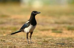 Magpie Pica pica Royalty Free Stock Photo