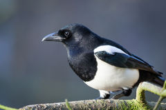 Magpie Royalty Free Stock Photo