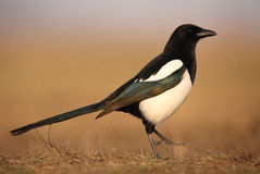Magpie. The picture was taken in Hungary Royalty Free Stock Photo