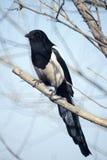 magpie pied Стоковое Изображение