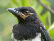 Magpie. Portrait. stock photography