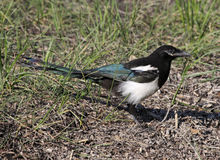 Magpie Portrait Royalty Free Stock Image