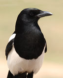 Magpie Posing Boldly. Black-billed Magpie Posing Boldly Like An Eagle Stock Images