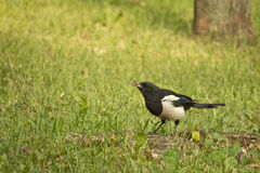Magpie with prey in its beak on a green lawn.  royalty free stock photos