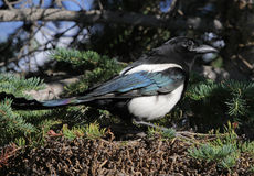 Magpie Profile Royalty Free Stock Images