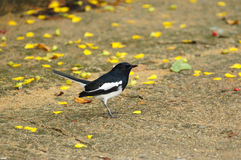 Magpie Robin Stock Photography