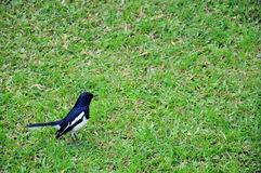 Magpie Robin Stock Images