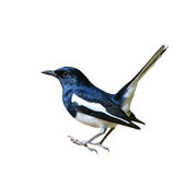 Magpie Robin bird Stock Images