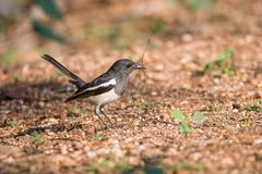 Oriental magpie robin bird. Magpie robin bird collecting materials to build nest Stock Image