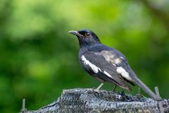 Magpie Robin in a garden in Singapore Stock Photo