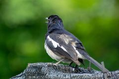 Magpie Robin in a garden in Singapore. Royalty Free Stock Photos