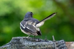 Back and tail of a magpie robin in a garden, Singapore Stock Image