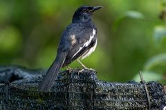 Magpie Robin in a garden in Singapore. Royalty Free Stock Images