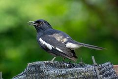 Magpie Robin singing in a garden in Singapore. Stock Photos