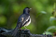 Magpie Robin singing in a garden in Singapore. Royalty Free Stock Photography